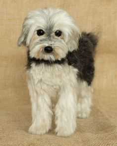 Marlie the Yorkie/Maltese: Needle felted animal sculpture by Megan Nedds of The Woolen Wagon