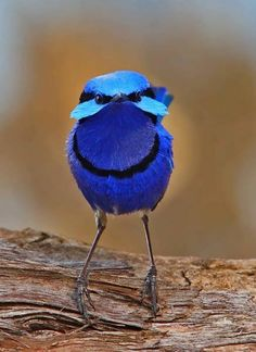 {blue bird} - the Splendid Fairy-wren, lives in the forests of South West Australia. Pretty Birds, Beautiful Birds, Animals Beautiful, Cute Animals, Beautiful Pictures, All Birds, Little Birds, Love Birds, Exotic Birds