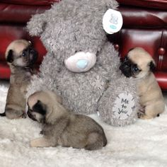 pug puppies | Outstanding pug puppy boy Top pedigree lines ready | Sheffield, South ...