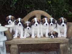 Adorable Saint Bernard Puppies. For more cute puppies, check out our youtube channel: https://www.youtube.com/channel/UCH7efODYtEdnWfAm1eS4NMA