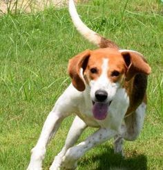 This sweet guy is Baxter.  He's a 6 year old American Foxhound mix with such a sweet face.  Baxter is a medium size boy who's looking for a best friend who will make sure he gets lots of walks and playtime. For more information about adopting Baxter, contact Wayside Waifs at  816-761-8151. His animal ID number is 29486846