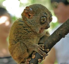 This tarsier is concerned about the fact that he can see forever when he looks into your eyes. This tarsier is also tripping pretty hard right now, so you shouldn't sweat it too much.