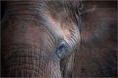 Ingo Gerlach - Portrait eines alten Elefanten  Mein Poster des Tages: