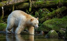 """The Kermode bear, also known as a """"spirit bear"""", is a subspecies of the American Black Bear"""
