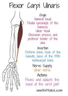 Forearm Muscle Anatomy, Forearm Muscles, Human Body Anatomy, Human Anatomy And Physiology, Hand Therapy, Massage Therapy, Muscles Of Upper Limb, Upper Limb Anatomy, Mega Series