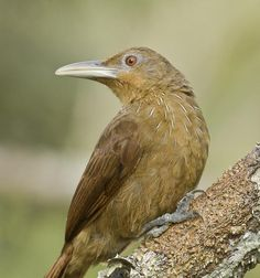 Cinnamon-throated Woodcreeper (Dendrexetastes rufigula)