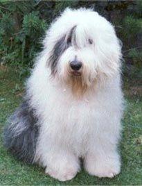 Old English Sheepdog (Bobtail)