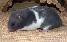 Blue Umbrous Banded sh hamster (aaddU_ - Ba_L_) Dark Colors, Colours, Syrian Hamster, Cute Hamsters, Rodents, Animals And Pets, Coat, Blue, Fluffy Animals