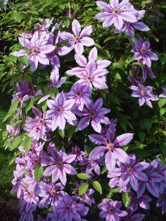 Beautiful purple Clematis