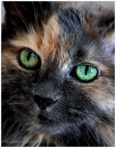 beautiful tortie cat face- those eyes!
