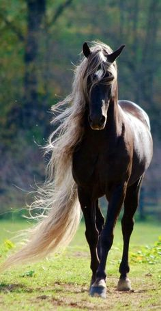 Look at the mane on this horse!....I love the color of this horse....a dark chocolate coat with a beautiful blonde mane & tail...Wow!