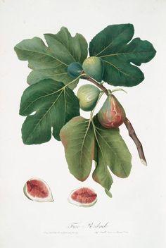 fig leaf botanical drawing - Google Search