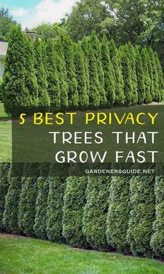 5 best privacy trees that grow fast privacytrees privacy tree fastgrowing gardening privacyplants gardenersguide 36 beautiful small backyard landscaping ideas Privacy Plants, Privacy Landscaping, Landscaping Design, Arborvitae Landscaping, Outdoor Privacy, Backyard Landscaping Privacy, Landscaping Ideas For Backyard, Natural Landscaping, Backyard Garden Landscape