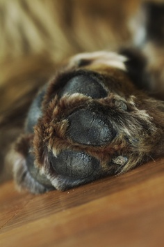 my leonberger dogs foot