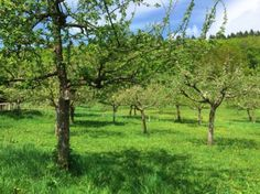 #fresh #green #meadow #trees #south #germany #april #relax #enjoy // #frisches #grün #wiese #obstbäume #deutschland #entspannen