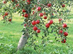 Cultivar manzano 1