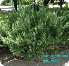 How to Propagate Rosemary {Grace, Grits and Gardening}