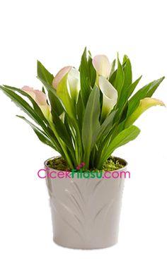 Gala Çiçeği Bakımı, Yetiştirilmesi, budanması, sulanması, toprak, vitamin, ışık, ve rüzgar faktörlerine karşı direnci.