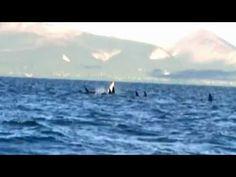 Primera #orca blanca filmada en libertad