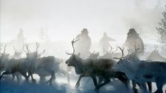 Twice every year the reindeers are rounded up for earmarking and head counts. The actions last for several days.
