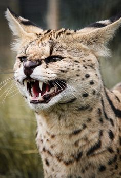 Serval by Sue Hartley