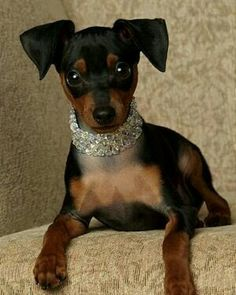 Swarovski dog collar, for that very fashionable pooch who always makes heads turn when she walks into a room. Mini Pinscher, Miniature Pinscher, Doberman Pinscher, Doberman Dogs, I Love Dogs, Puppy Love, Prager Rattler, Cute Puppies, Cute Dogs