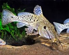 Tropical Paradise Fish: Giraffe Nosed Catfish - Auchenoglanis occidentalis http://www.tropicalparadisefish.com/2011/12/giraffe-nosed-catfish-auchenoglanis.html