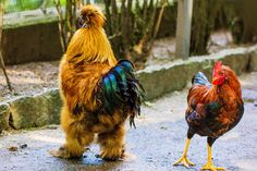 Silkies strutting their stuff All banana, Bro...!!! by Moni  on 500px