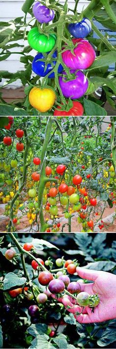 Rainbow Tomato Seeds Magic Garden Colorful Bonsai Organic Vegetables and Fruits Seeds Home Yard Lawn And Garden, Garden Art, Garden Plants, Fruit Seeds, Tomato Seeds, Unusual Plants, Organic Gardening Tips, Exotic Fruit, Garden Seeds