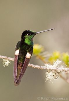 Buff-Winged Starfrontlet (Coeligena lutetiae) is found in Colombia, Ecuador, and Peru.
