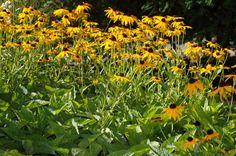 Xeriscape for Austin Rudbeckia fulgida var. sullivantii_Black-eyed_Susan_Austin_Deer_resistant_plant