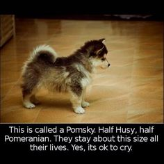 Oh. My. God. This might be the cutest dog on the planet. A dog that looks like a  husky puppy forever.