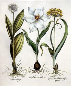 Study of Late White Tulip, Golden Garlic and Mountain Garlic (1613) by Basilius Besler ( 1561 - 1629).  Wikimedia.