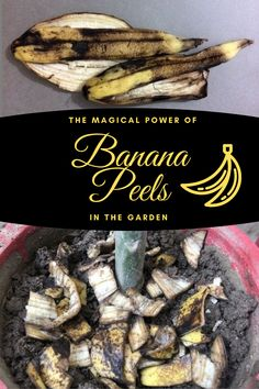 Banana peels are a good source of nutrients—as most kitchen scraps are—and that's why they are all a welcome addition to our compost piles. Fresh banana peels contain roughly 19 mg of calcium, supp… Home Made Fertilizer, Fertilizer For Plants, Liquid Fertilizer, Banana Peel Uses, Banana Peels, Garden Compost, Garden Pests, Kill Weeds Not Grass, Indoor Water Garden