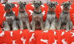 Five miniature Schnauzers sit on a sofa at the dog show in Dortmund, Germany on May 11.