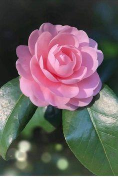 Beautiful Rose Flowers, Beautiful Flower Arrangements, Exotic Flowers, Amazing Flowers, Pink Flowers, Blossom Garden, Blossom Flower, Flower Centerpieces, Flower Vases