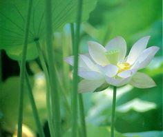 De lotus is een universeel symbool voor meditatie en innerlijk werk. De bloem groeit in de modder vanwaar de schoonheid zich openbaart...