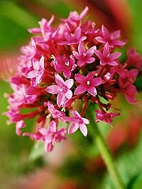 A estrela-do-egito apresenta folhagem e florescimento muito ornamentais. As folhas se dispõem aos pares ao longo do caule piloso. As flores ...