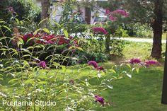 Syyssyrikkä ja muita perhoskasveja - Sarin puutarhat