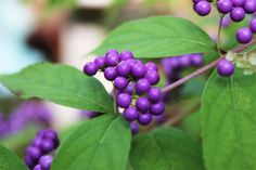 Beautyberry - A small bush with a big bunch! I have a garden bench on our garden level 2, where I sit and look at the lake. At this time of t…