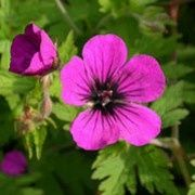 Botanical name: Geranium 'Anne Thompson'  Other names: Geranium 'Anne Thompson'  Genus: Geranium  Variety or cultivar: 'Anne Thompson' _ 'Anne Thompson' is a low-spreading perennial with gold-tinted foliage and a profusion of dark magenta flowers with a black centre.