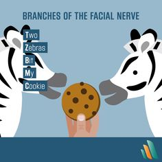 If you give a zebra a cookie… she'll ace her med school exam! Here's a trick for remembering the five branches of the facial nerve. 🦓