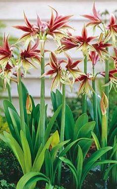 """Hippeastrum """" Lima"""" ist eine Amaryllis vom Cybister-Typ und hat außergewöhnlich feine Blüten in rot und hellgrün"""