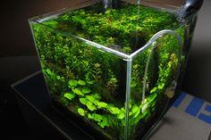 Looks like an evolve 2 or Nano Aquarium, Nature Aquarium, Aquarium Ideas, Planted Aquarium, Betta Fish Tank, Beta Fish, Fish Tanks, Aquascaping Plants, Indoor Pond