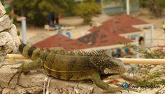 Wil je weten waar je deze Leguaan kan zien>? Lees het in mijn blog! Meet, Animals, Blog, Beach, Animales, Animaux, Animal, Blogging, Animais