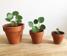 Trendy Ideas for plants indoor care flower Crassula, Plantas Bonsai, Chinese Money Plant, Pot Plante, House Plant Care, Garden Care, Little Plants, Green Plants, Flower Plants