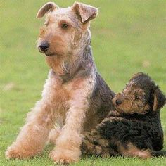 Welsh Terrier Dog Welsh Terrier, Airedale Terrier, Terrier Dogs, Terriers, Unique Animals, Animals Beautiful, Animals And Pets, Funny Animals, Pet Corner