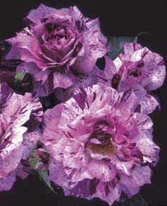 JP: Purple Tiger (Pinstripe) - Very Novel Purple White Stripe Floribunda Roses BEAUTIFUL ROSE DE GARDEN -BUISSON**+