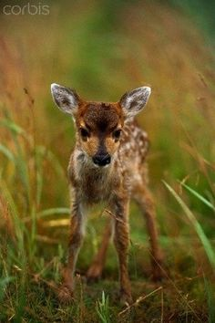 baby fawn is sooo cute! had a lot of these in my back yard on Whidbey Island, WA