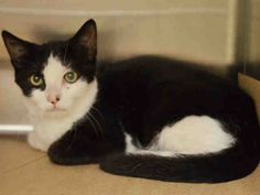 CABERNET - A1048890 - - Manhattan ***TO BE DESTROYED 08/28/15*** TWO KITTENS, CABERNET AND SAUVIGNON, AND 2 YEAR OLD PINOT NOIR ARE THREE PALS WHO WERE FOUND DUMPED IN THE BRONX – AND LIKE THEIR OTHER PAL SHIRAZ FROM YESTERDAY'S LIST, IT IS THEIR TURN TO FACE THE EUTH TECH ON FRIDAY!! Sadly, these three absolutely gorgeous cats were dumped in the yard of someone in the Bronx. We can see easily by how beautiful and groomed they are that they were abandoned pets